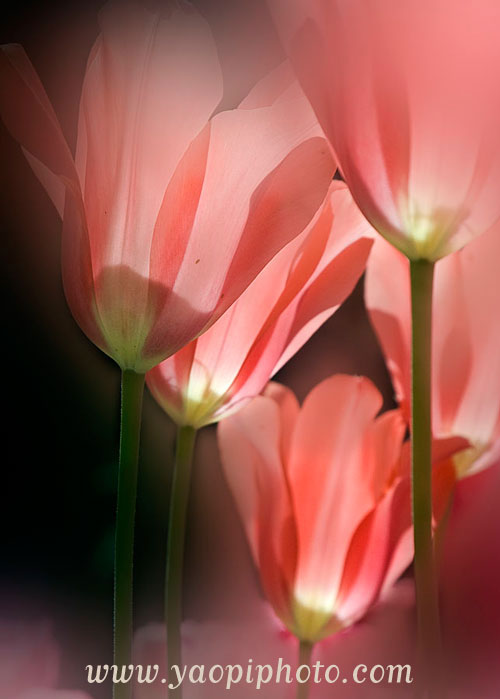 Tulip © Yao Pi Hsu