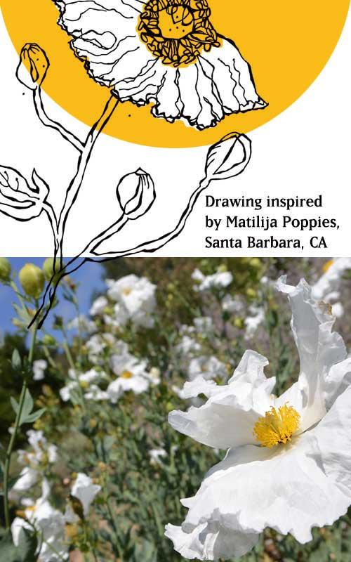 matilija poppy ©JenNorton